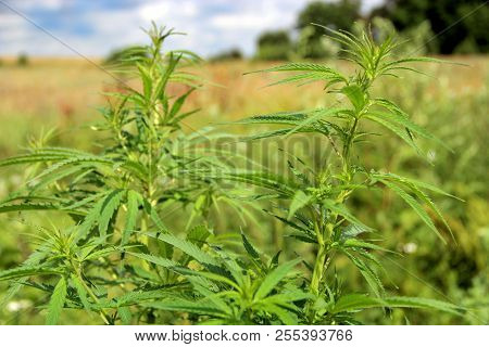 Cannabis Ruderalis Growing In Bush In Summer Field