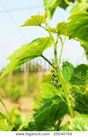 Young, bright green vine
