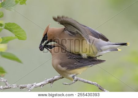 Male Cedar Waxwing (bombycilla Cedorum) Presenting A Mulberry To His Mate During Copulation - Ontari