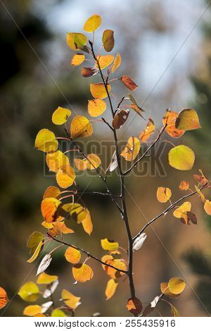 Yellow And Orange Autumn Aspen Leaves, Wyoming