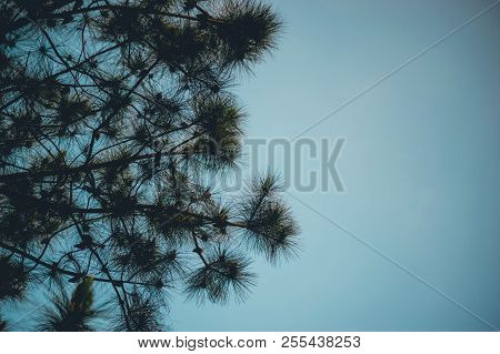 Pine And Pine Occurs In The Mountains During The Cold Winter Trees. And The Pine Is Dry. Big Wildern