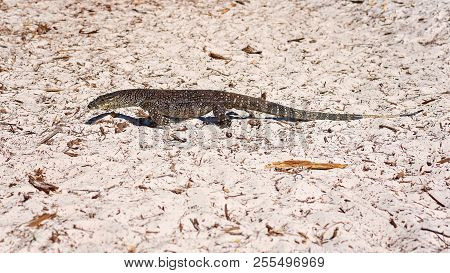 A Monitor Goanna In Its Habitat Of The White Silica Sand Of Whitehaven Beach In The Whitsunday Islan