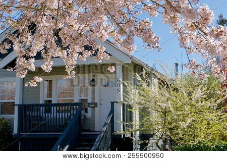Moss Street, Victoria, British Columbia, April 2, 2018: Gorgeous Pink Blossoms Of Cherry Trees Frame