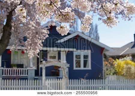 Moss Street, Victoria, British Columbia, April 2, 2018: Cherry Blossoms Frame A Pretty Blue House Wi