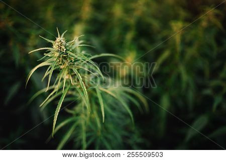 Bush Flowering Herb Hemp With Seeds And Flowers Sun Glint Background. Concept Breeding Of Marijuana,