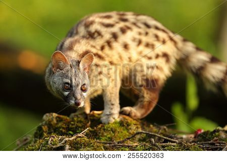 Genet Portrait In A Forest With A Warm Sun Light At Sunset