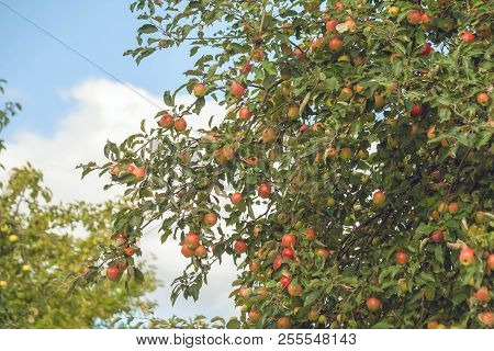 apple tree branches with a large number of apples against the blue sky and clouds, fruits of red, green, yellow hues and color, harvest poster