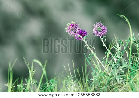 Natural Summer Floral Abstract Background. Forest Flowers Macro With Soft Focus On Blurred Light Gre