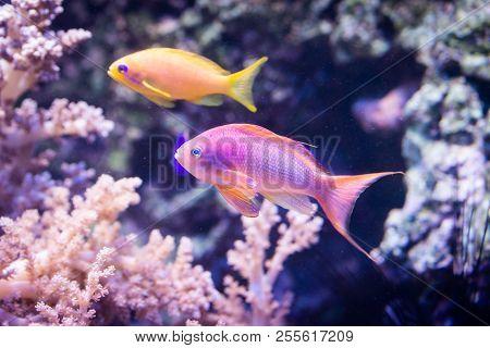 Fish Pseudanthias squamipinnis - Sea goldie, saltwter poster