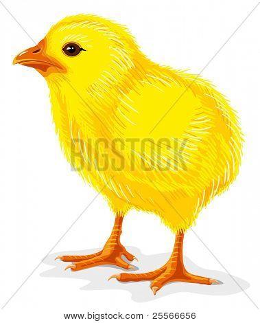 little yellow chicken isolated on white, vector illustration