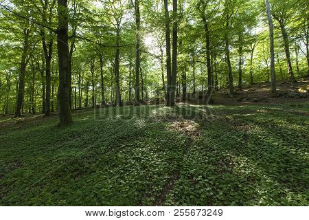 Green Foliage This Sides The Sky, Pathways. Beech Wood In Spring.