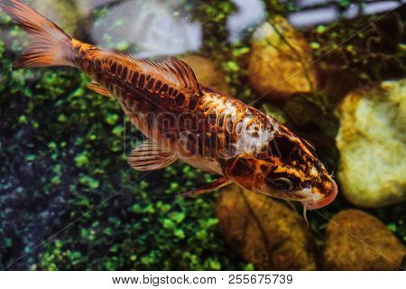 Golden aquarium carp fish, koi fish. Underwater animal. poster