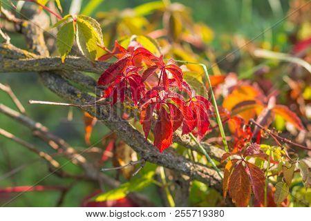 Close Up Of Autumn Virginia Creeper Leaves, Macro Of Autumn Wild Grape Leaves, Colorful Leaves Of Cr