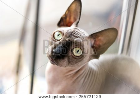 Bald Cat, Cat, Canadian Sphinx, Sphynx, Cat Near The Window, Muzzle Bald Cat, Cat Eyes