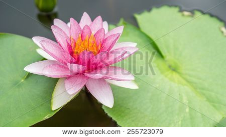 Lotus Flower And Background Concept - Beautiful Pink Lotus Flower In Water And Copy Space. Use For L
