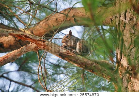 Squirrel with a large nut in a pine tree