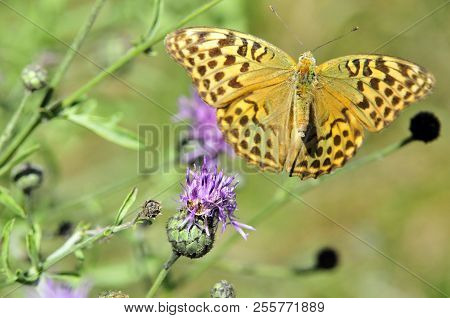 The Silver-washed Fritillary (argynnis Paphia) Butterfly, Male. The Butterfly Flew From The Flower,