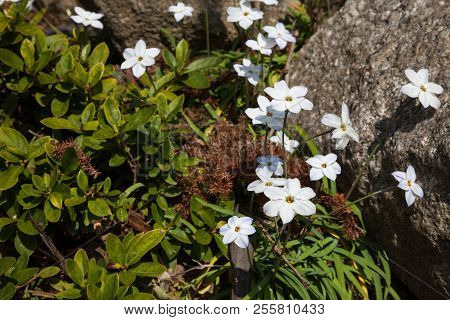 Whiite Flower In Garden With Nature Background.,