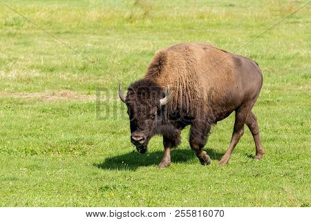 American Bison (bison Bison), Commonly Known As The American Buffalo