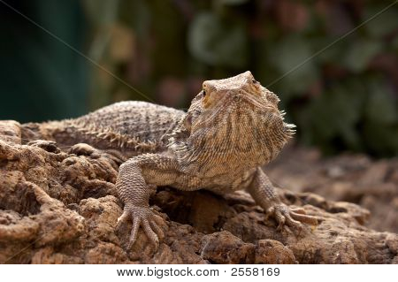 Bosc Monitor Lizard