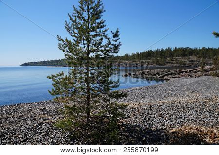 Pine On The Rocky Shore Of The Lake. Far Shore, Overgrown With Forest. Clear Sunny Day. The Water Is