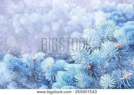 Christmas Winter Snowy Background. Blue Pine Tree Branches Under Winter Falling Snow, Closeup Of Win