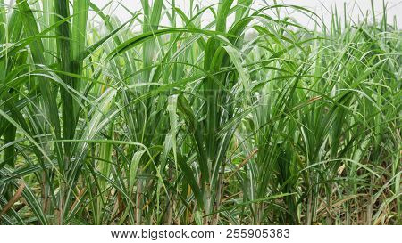 Sugarcane Field With Blue Sky In Tropical Country.