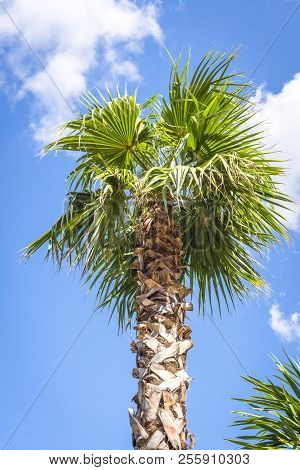 Palm Tree In The Tropics Rising Up Into The Blue Sky