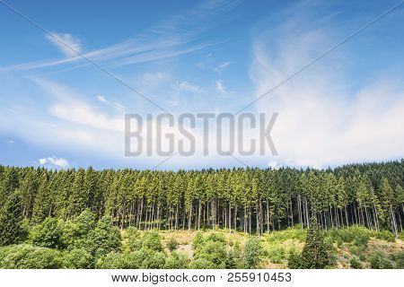 Pine Tree Forest Under A Blue Sky On A Hill In The Summer