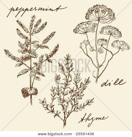 hand drawn herbs