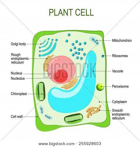 Plant Cell Anatomy. Cross Section. Structure Of A Eukaryotic Cell. Vector Diagram For Your Design, E
