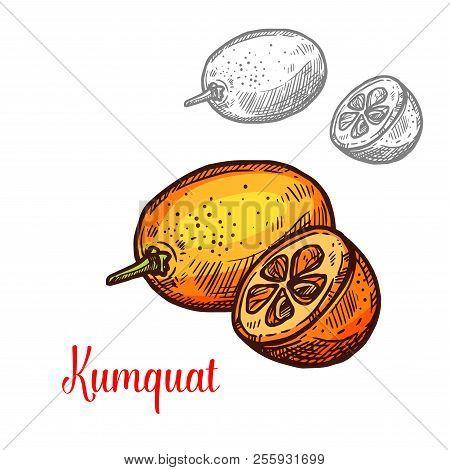 Exotic Fruit Kumquat Vector Image. Fresh Exotic Fruit Kumquat Vector Design. Kumquat Hand Drawn Desi
