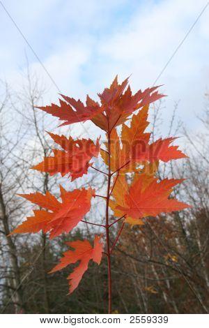 Maple Levaes In The Autumn.