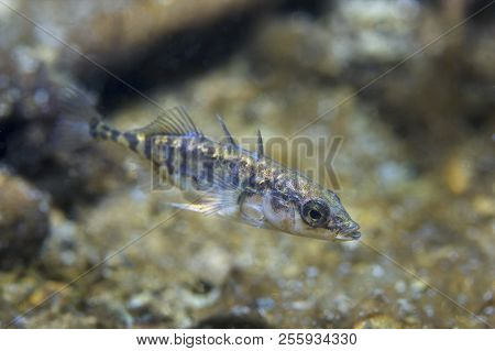 Freshwater Fish Three Spined Stickleback (gasterosteus Aculeatus) In The Beautiful Clean Pound. Unde
