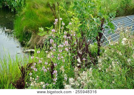 False dragonhead flowers (Physostegia virginiana), also called obedient plants, or obedience, bloom among creeping thistle plants (Cirsium arvense), aka Canada thistle, that have gone to seed, near the drain of a culvert in Joliet, Illinois, during August poster