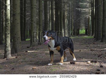 Entlebucher Sennenhund Or Entlebucher Mountain Dog In The Spruce Forest In Summer.