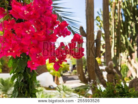 Dark Pink Bougainvillea Tropical Flowers With Oasis Cactus Background