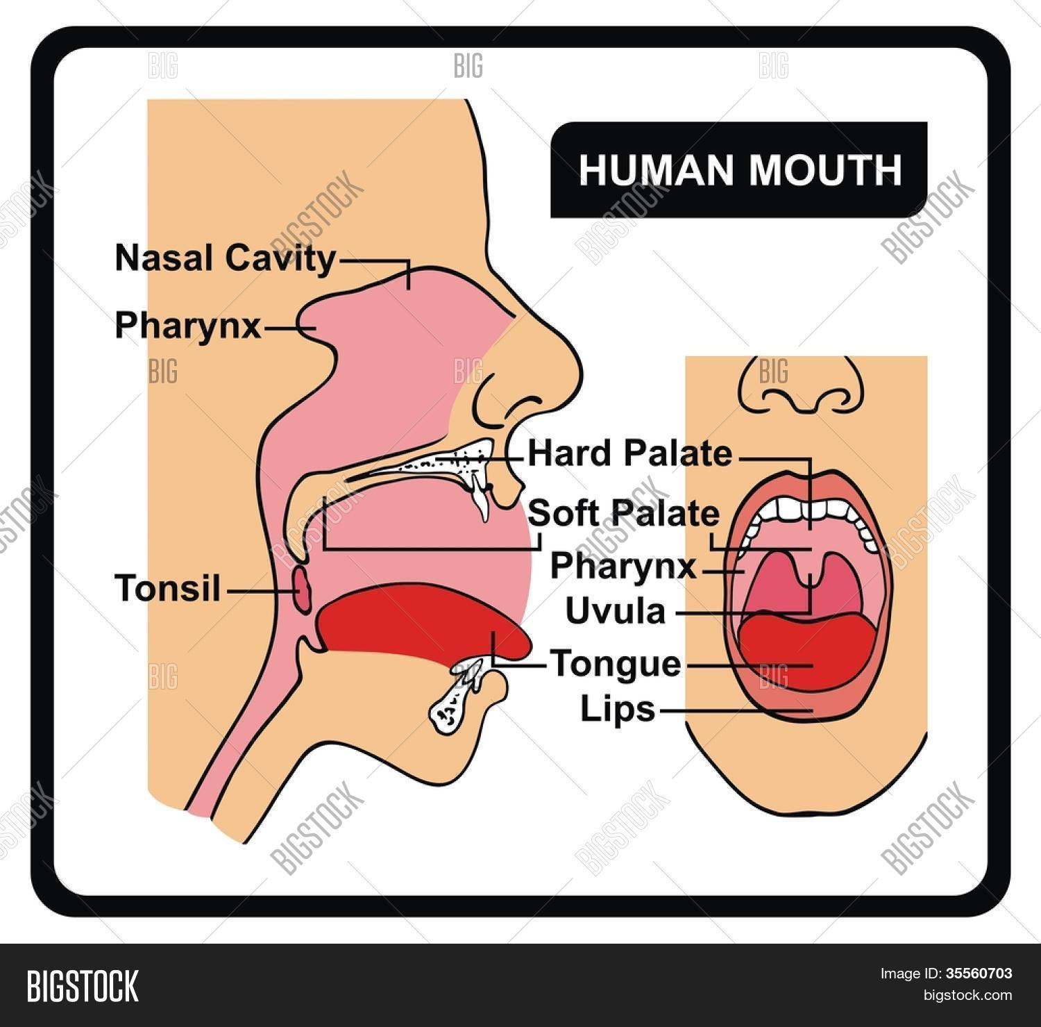 Vector Human Mouth Vector Photo Free Trial Bigstock