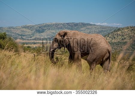 An African Elephant (loxodonta Africana) Walking Through The Tall Grass In Pilanesberg Game Reserve,