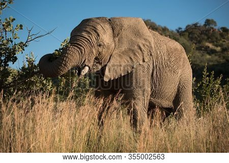 An African Elephant (loxodonta Africana) Grazing Amidst The Tall Grass And Shrubs In Pilanesberg Nat