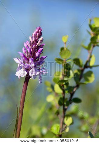 Dactylorhiza maculata orchid