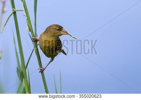 A Female Southern Masked Weaver Get Grass For Build A Nest