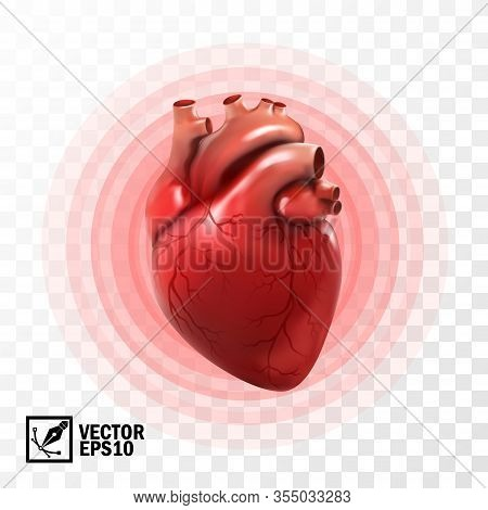 3d Realistic Vector Isolated Human Heart, Circle Pulsation, Heart Attack , Anatomically Correct Hear