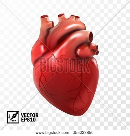 3d Realistic Vector Isolated Human Heart. Anatomically Correct Heart With Venous System