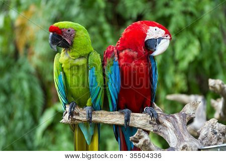 Couple Of Green-winged And Great Green Macaws In Nature Surrounding