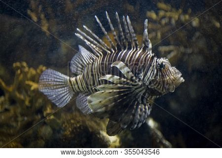 Beautiful Dangerous Fish Lionfish In A Saltwater Aquarium In Closeup