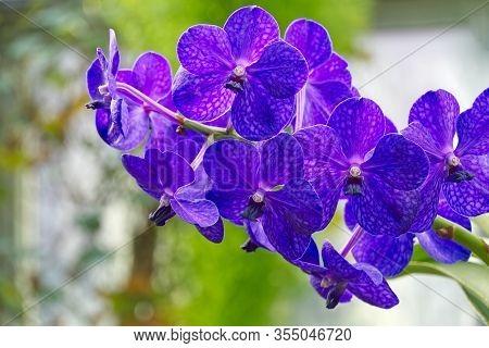 Blue Vanda Jones Orchid. Vanda Is A Genus In The Orchid Family