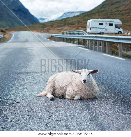 Sheep resting on road in Norway poster