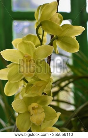 Yellow Phalaenopsis Or Moth Dendrobium Orchid Flower . Yellow Orchids Isolated On Blur Background. B