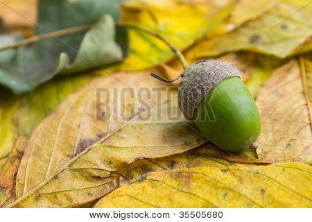 Acorn On Leaf